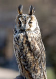 Horned owl. Seating honrned owl stock images