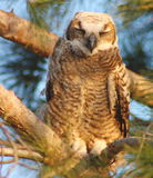 horned owl Royaltyfria Bilder