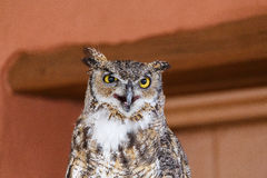 Horned Owl with Beak Open Stock Images