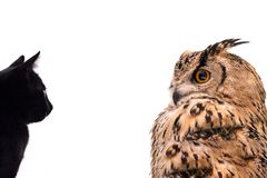 A horned owl and a black cat look at each other. stock photos