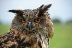 Horned owl Bubo Bubo Stock Photos