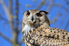 Horned Owl (Bubo virginianus) Stock Image