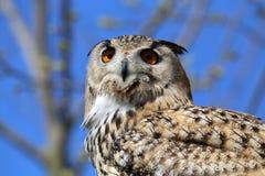 Horned Owl (Bubo virginianus) Stock Image