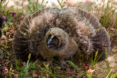 Horned Owl Chick Bubo bubo Royalty Free Stock Image