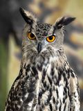 Horned owl. stock photography