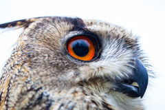 Horned Owl or Eagle owl Royalty Free Stock Photo
