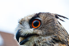 Horned Owl or Eagle owl Royalty Free Stock Photos