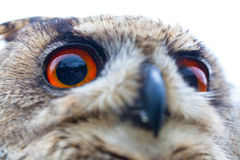 Horned Owl or Eagle owl Stock Photo