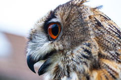 Horned Owl or Eagle owl Royalty Free Stock Photography