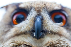 Horned Owl or Eagle owl Royalty Free Stock Images