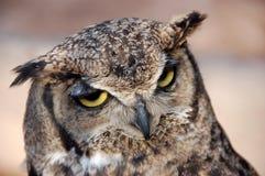 horned owl för b-ho Arkivfoto
