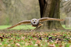Horned Owl in Flight Royalty Free Stock Images