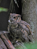 Horned Owl in Florida. Great Horned Owl is also commonly called the Tiger owl and also the Hoot owl. It`s a beautiful large owl with orange, black and white royalty free stock images