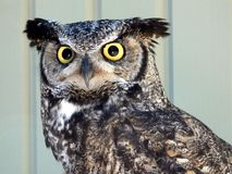 Horned owl stock images