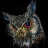 Horned Owl stock photo