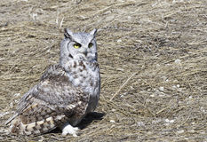 Horned owl on harvested field Stock Photography