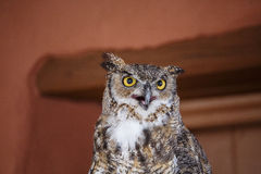Horned Owl Hooting Royalty Free Stock Photography