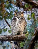 Horned owl looks down from above Stock Photos