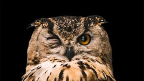 The horned owl with one open eye. Isolated on a black background.  royalty free stock image