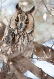 Horned owl perched in an olive tree. Horned owl perched on a branch in an olive tree looking intently at the camera with round yellow eyes, closeup view showing royalty free stock images