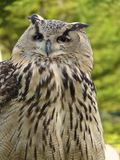 Horned Owl Portrait. On the green background Stock Photos
