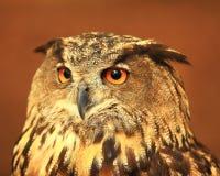 Horned  owl portrait. Captive barn owl at the World Bird Sanctuary in St. Louis, Missouri Stock Photos