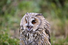 Horned owl portrait Stock Photo