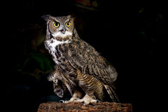 Horned owl portrait. Stock Photo