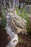 Horned owl portrait. Stock Photography