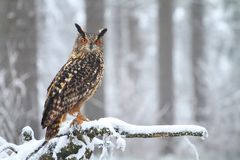 Horned owl on root Royalty Free Stock Image