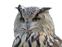 Horned owl's isolated portrait. On white Stock Photography