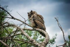 Horned Owl Sitting på en trädlem Arkivbild
