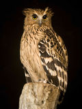 Horned owl sitting on stump. Royalty Free Stock Image