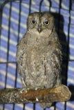 Horned owl Stock Photos