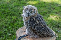 Horned owl tied on a tree stump, wonderful with a green background. Wonderful sunny day in the woods in the Netherlands stock photo