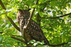 Horned owl in a tree Stock Image