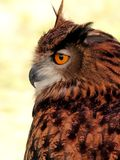 Intense Glare of a Horned Owl. This horned owl was intent on watching for potential prey.  It`s orange eyes have adapted for night but are spectacular to see on royalty free stock photos