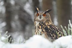 Horned owl in winter Royalty Free Stock Images