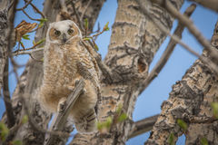 Horned Owlet Royalty Free Stock Photo