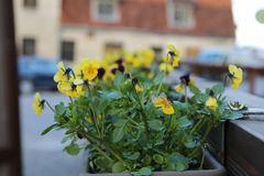 Horned pansies. Colorful pansies in sanny Spring day. Gardening. Horned pansies. Yellow stock photos