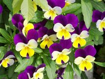 Horned pansy. Horned pansies in a garden Royalty Free Stock Photo