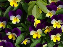 Horned pansy. Pink and yellow horned pansies Stock Image