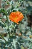Horned poppy royalty free stock photo