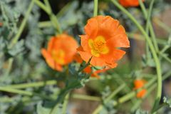 Horned poppy. Orange horned poppy flower - Latin name - Glaucium flavum royalty free stock image