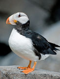 Horned Puffin Stock Photography