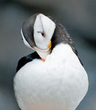 Horned Puffin Royalty Free Stock Images