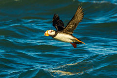 Horned Puffin. Adult Horned Puffin Flying Above Blue Water Royalty Free Stock Image