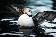 Horned Puffin Flapping Wings on Dark Water. Horned puffin flapping wings while bobbing on dark water in Alaska stock photo