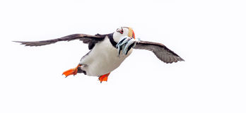 Horned puffin returning with fish Stock Photos