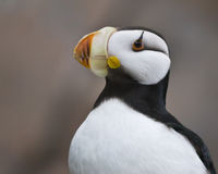 Horned puffin. A horned puffin in Seward Alaska Stock Image